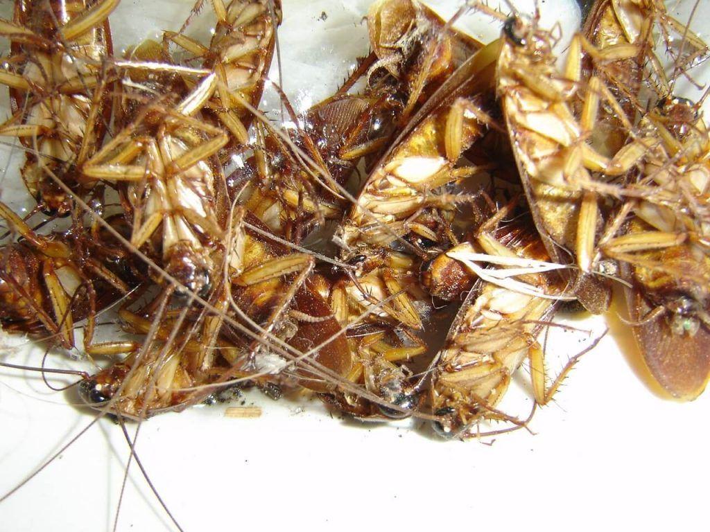 Ahuyentar cucarachas y eliminarlas sin t xicos es posible for Como eliminar cucarachas del desague