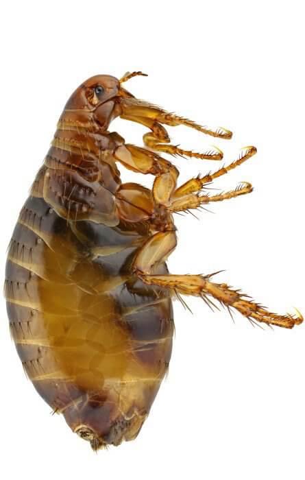 Qu y c mo son las pulgas remedios para picaduras y mascotas - Como quitar pulgas en casa ...