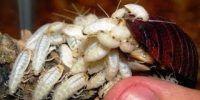 cucaracha africana crias
