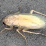las cucarachas cuando nacen son blancas