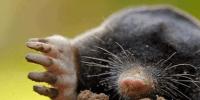 como atrapar topos
