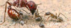 hormigas argentinas grandes y pequeñas