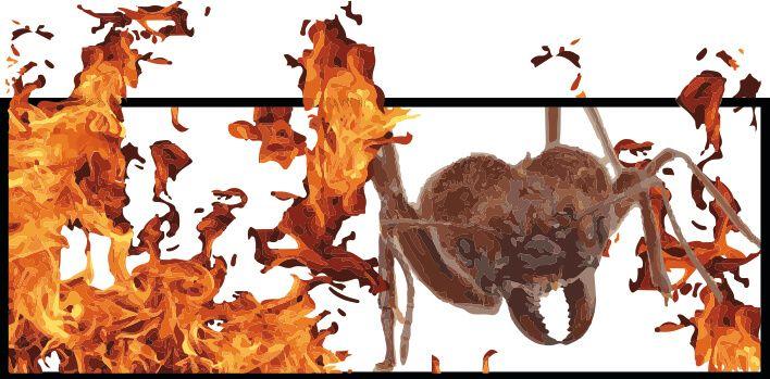 hormigas de fuego rojas o coloradas