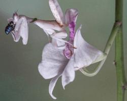 mantis religiosa orquídea cazando insectos