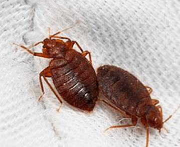C mo reconocer y eliminar chinches o insectos de la cama - Bichos en casa fotos ...
