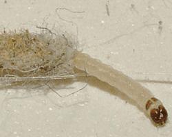 aspecto de larvas de polilla