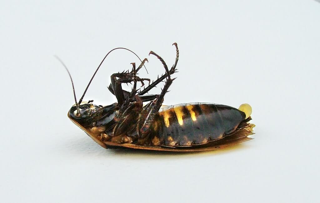 como acabar con las cucarachas