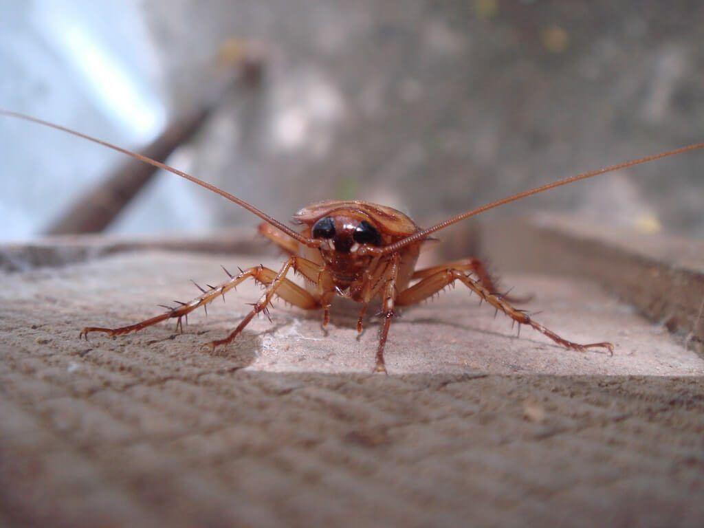 Cuanto cuesta fumigar una casa de cucarachas cool for Como eliminar cucarachas pequenas en casa