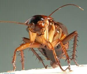 cuanto tiempo vive una cucaracha
