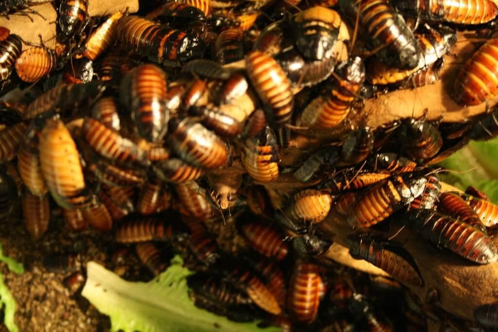 cucarachas pequeñas