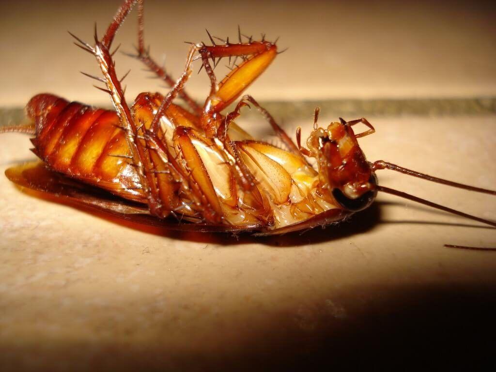 Cucaracha alemana como eliminarla awesome chinches with - Acabar con las pulgas en casa ...