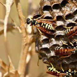nido con avispas