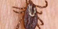 pulga posada en la piel de una persona