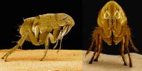 pulgas vistas por microoscopio de laboratorio