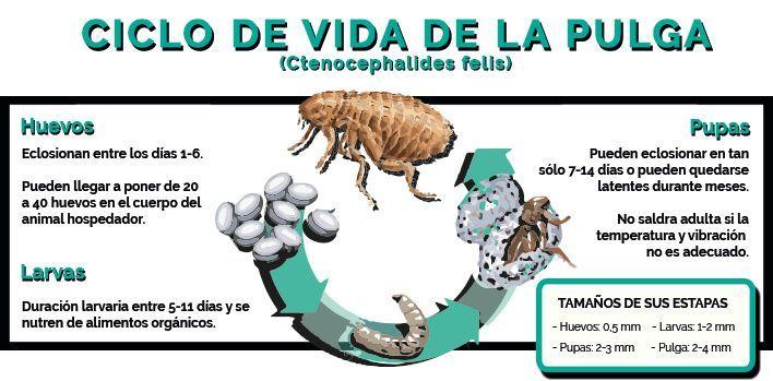 pulgas ciclo de vida y tamaños