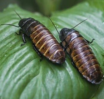 cucaracha de madagascar macho y hembra