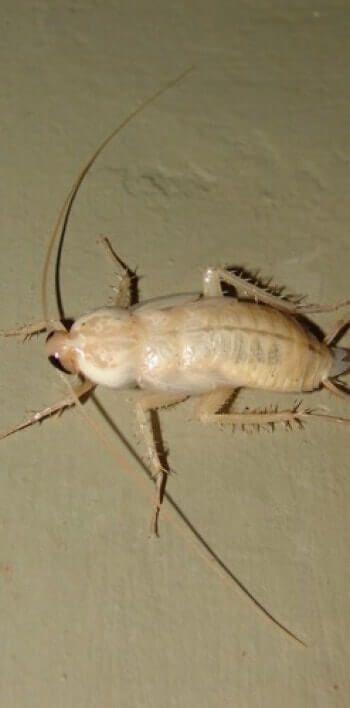 las cucarachas blancas pican imagenes