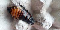 terrario cucaracha madagascar