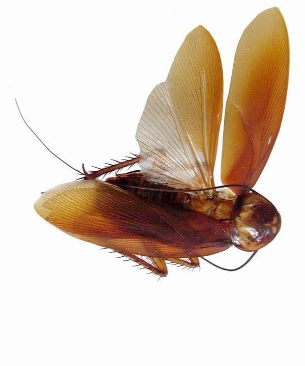 cucaracha con alas