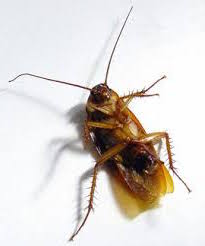 cucaracha con alas muerta