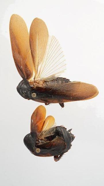 cucaracha voladora negra