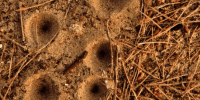 trampas de la hormiga de leon