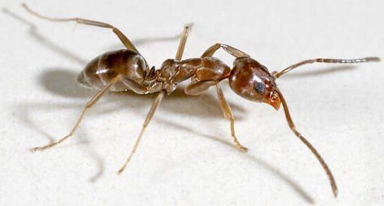 hormiga argentina de cerca