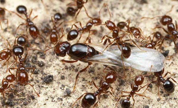 hormiga reina caminando entre las hormigas de su colonia