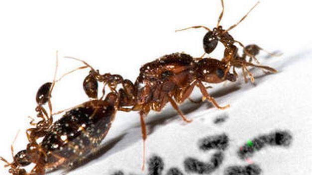 hormigas comiéndose a su reina