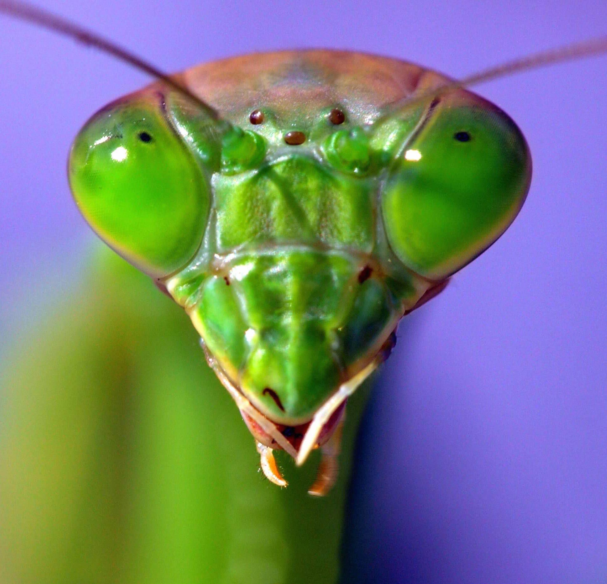 cabeza de mantis