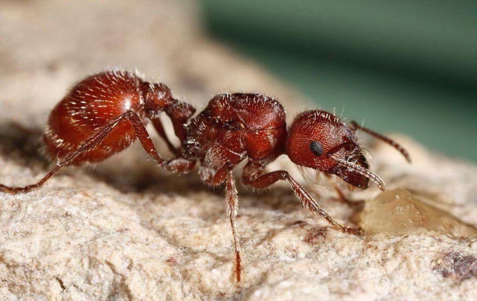 hormigas coloradas