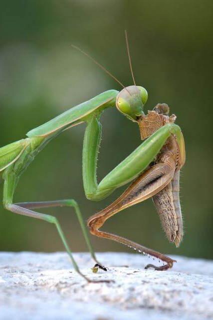 mantis comiendo saltamontes