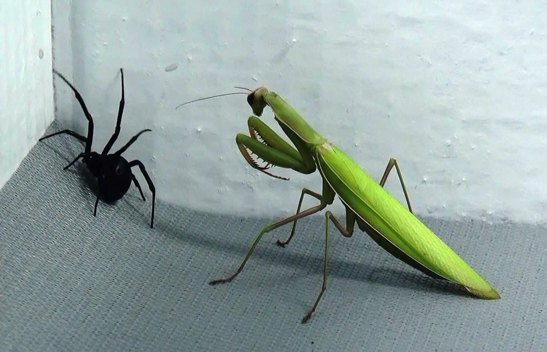mantis religiosa cazando para alimentarse