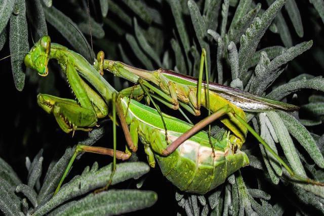 mantis religiosa reproduciendose