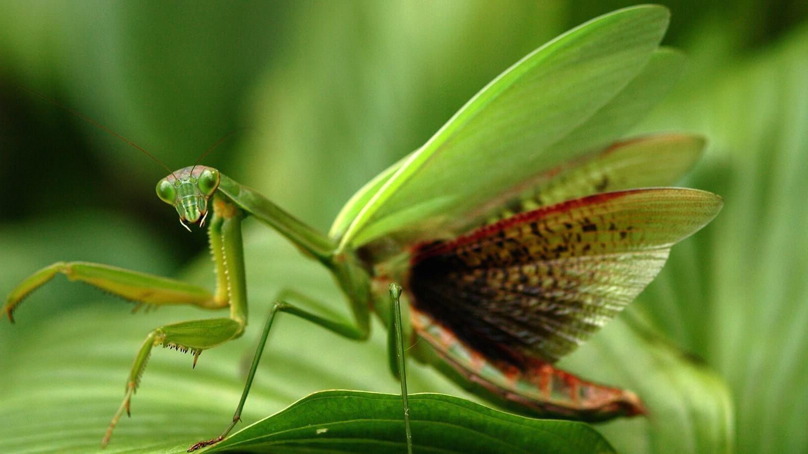 las alas de la mantis religiosa