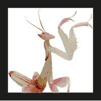 orquidea-mantis