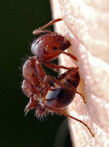 picaduras venenosas de las hormigas rojas