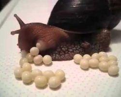 huevos y crias de caracol