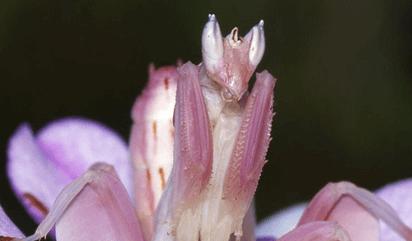 mantis de malasia de cerca