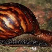 nombre científico del caracol - achatina fulica