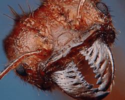 mandíbula de hormigas cortadora de hojas