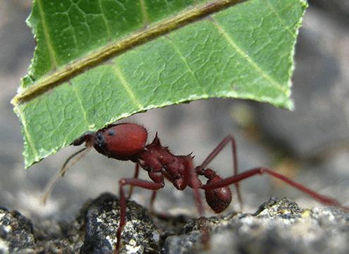 hormiga cortadora de hojas trabajando