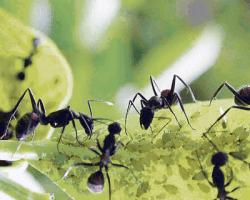 pulgones conviviendo hormigas en las plantas de tu jardín