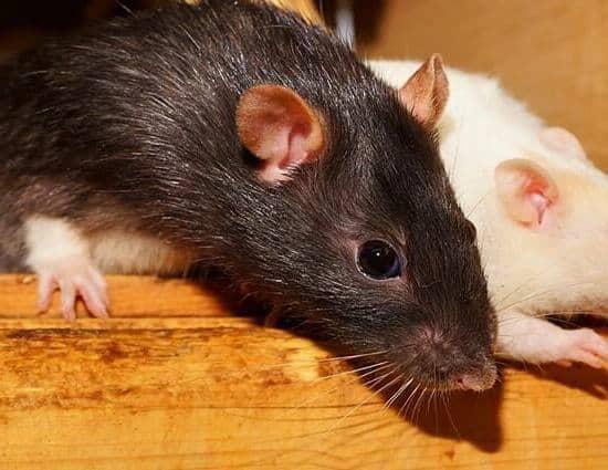 diferentes tipos de ratas
