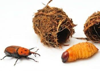 larvas de picudos rojos