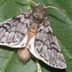procesionaria del pino adulta convertida en mariposa