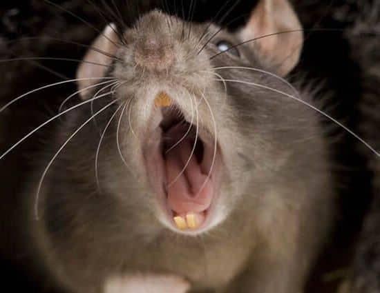 mordidas de rata