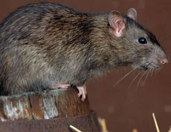 ratas en el hogar