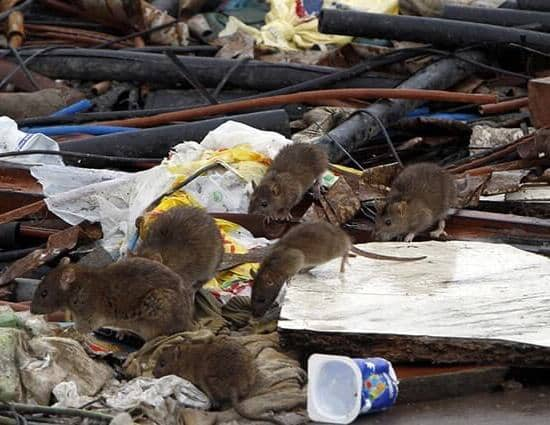 ratas grandes por la basura