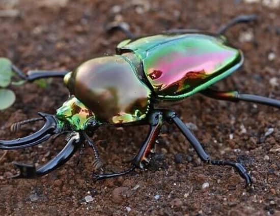 colores del caparazon y aspecto fisicos de los escarabajos